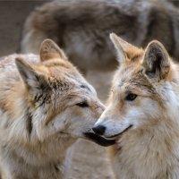 Подросшие волчата :: cfysx