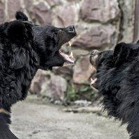 Медвежата :: Олег Савин