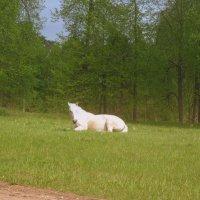 Беллая лошадка :: Татьяна