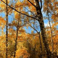 Ну очень золотая осень. :: Сергей Михайлов
