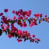Розовые цветы . :: Мила Бовкун