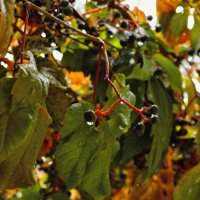 Дикий виноград. :: владимир