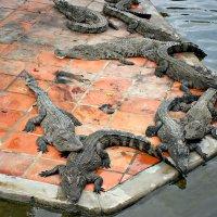 Крокодиловая ферма в парке Нячанг. :: Михаил Столяров