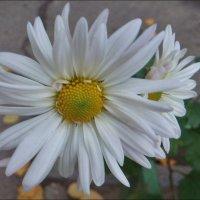 Хризантемы - скромницы-сестрички :: Нина Корешкова
