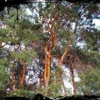 Пьяный лес :: Самохвалова Зинаида