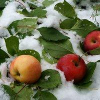 Яблоки на снегу. :: Надежда Парфенова