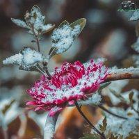 Хризантема и первый снег :: Игорь Касьяненко