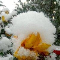 Роза в снегу :: Татьяна Королёва