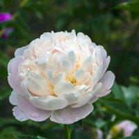 Бело-розовый пион :: Сергей Фомичев