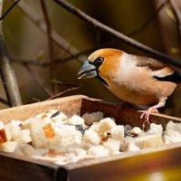 дубонос :: linnud