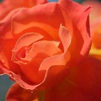 Нежная красота :: Swetlana V