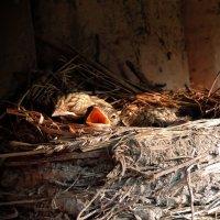 Птенцы мухоловки :: Наталия