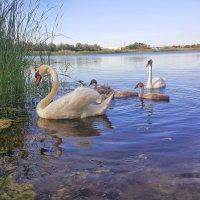 Белые лебеди - птицы прекрасные! :: Игорь Карпенко