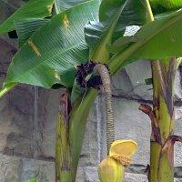 Цветение банана :: Вера Щукина