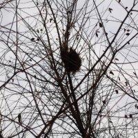 Гнездо на дереве :: Татьяна Королёва