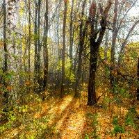 Солнце в лесу :: Вячеслав Баширов