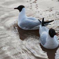 Малая поморская чайка :: Ираида Мишурко