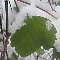 В снежной одежде :: Елена Семигина