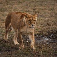 Молодая львица :: Nyusha