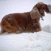 Зима пришла на радость детям и собакам... :: Larisa Freimane