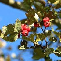 Плоды боярышника, цветущего весной махровыми розовыми цветами :: Татьяна Смоляниченко