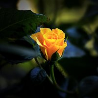 Бутон розы :: alex graf