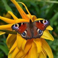 Бабочка :: Татьяна