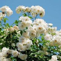 Белое облако роз :: Swetlana V