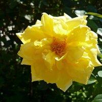 Жёлтый шиповник :: Вера Щукина