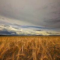 Растущего хлеба, колоски :: Сергей Жуков