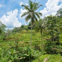 Бали. Рисовые террасы в Убуде. :: Dmitriy Sagurov