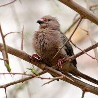 Синешапочная птица-мышь :: Alexander Andronik