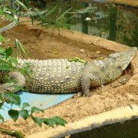 Крокодил Генка. :: Оля Богданович