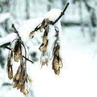 Снежные серьги :: Роман Челазнов