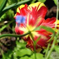тюльпан отвернулся :: vg154