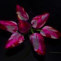 танец тюльпанов :: Роза Бара