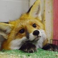 Рыжая лисичка из живого уголка в Сокольниках. :: Татьяна Помогалова