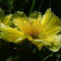 Цветок опунции :: Swetlana V
