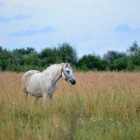 Лошадь в поле :: alen.kon К