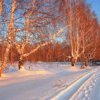 Березки на закате :: Нэля Лысенко