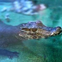 Крокодил дил дил плывёт... :: Юрий Пузанов