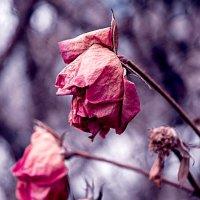 Увядающие розы :: Ярослава Хмелевская