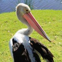 Австралийский пеликан (лат. Pelecanus conspicillatus). :: Антонина