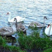 Лебединая семья :: Маргарита Батырева