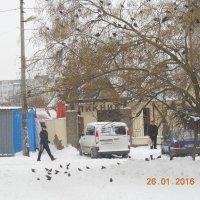 Скворцы на снегу. :: Галина