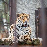 Большой кот :: Роман Бровченко