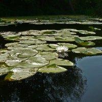 Речные цветы :: Антонина Петлевская