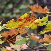 Осенние листья... :: Наталья