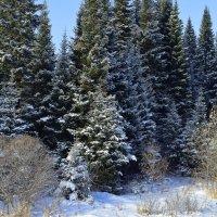 Снежный лес :: Вера Андреева
