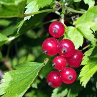 Bright picture of red currant among green leaves :: valery60